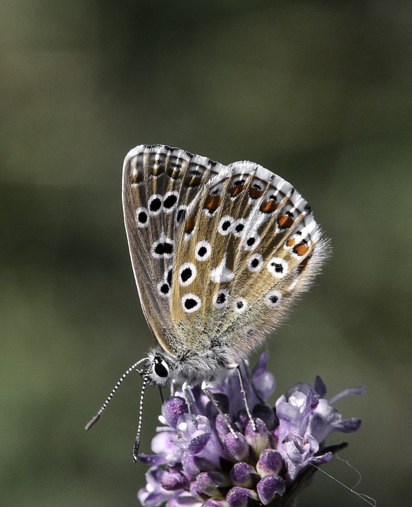 Adonis Blue by Gary Baker