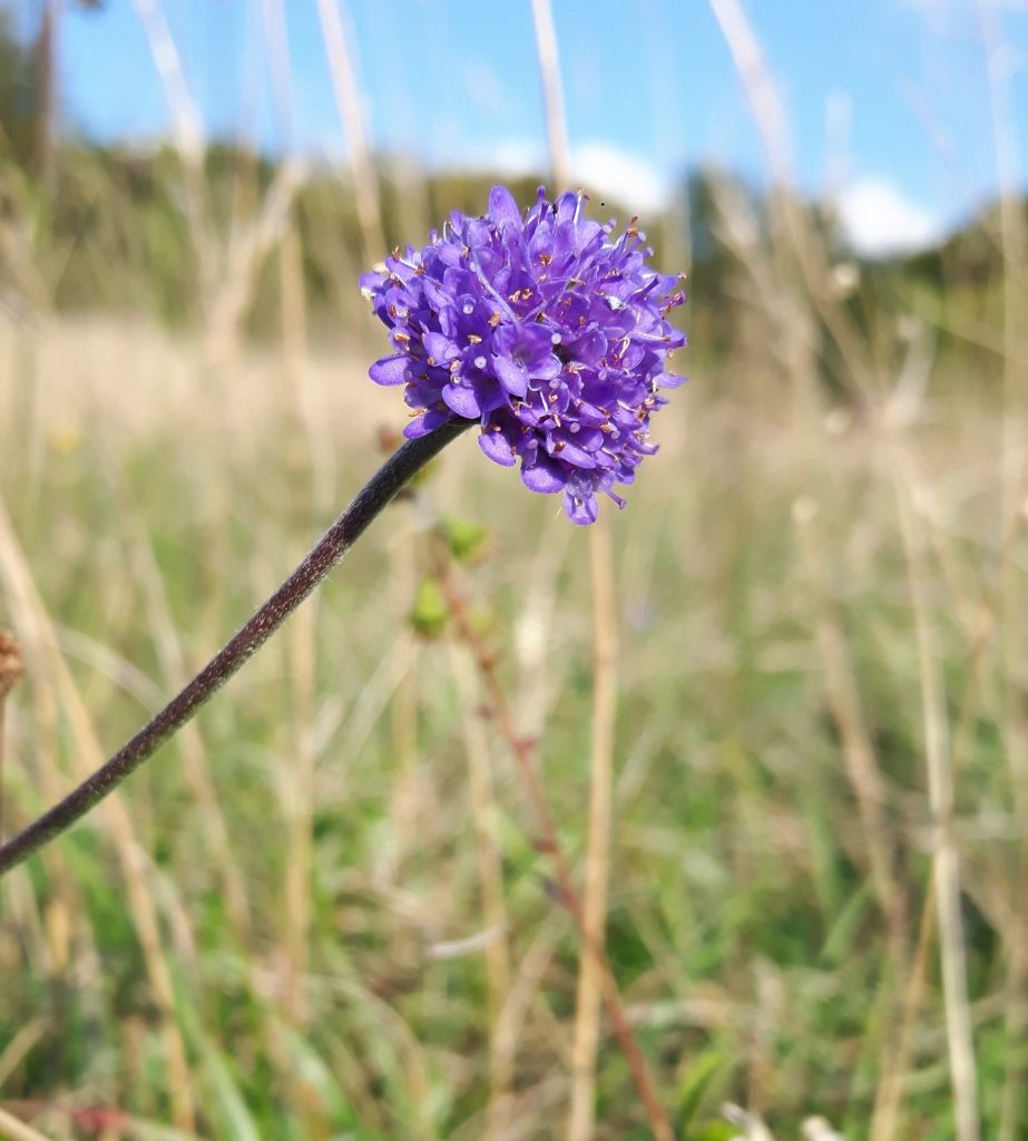 Devil's-bit Scabious in August 2019
