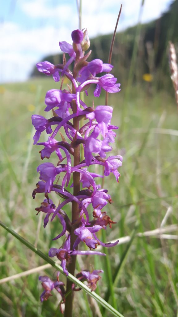 Chalk Fragrant Orchid June 2019