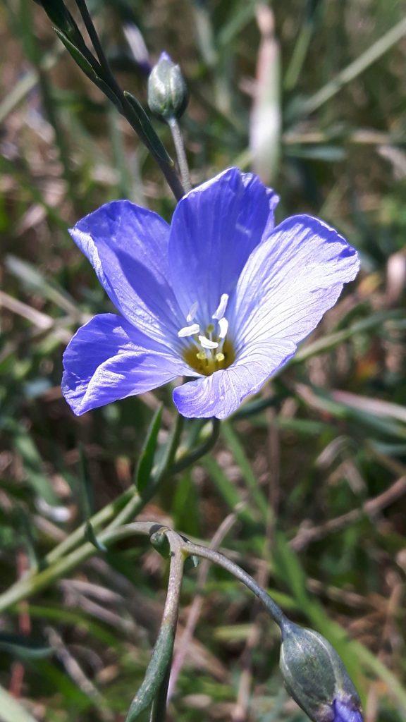 Perennial Flax May 2019